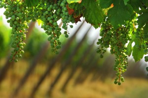 Franciacorta vineyard guided tour